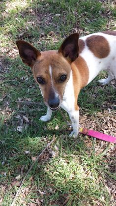 ADOPTED! Meet Beau a Jack Russell Dog for Adoption at East Lake Pet Orphanage (ELPO). DOB 3/22/2008 and admitted to ELPO on 4/5/2014. His family was unable to give him the time he needs & deserves, so they asked us if we would please take him on. He has been to day camp regularly and loves other dogs.  Beau is also very much a lap dog & really enjoys a good cuddle. Walks well on a leash and loves treats!