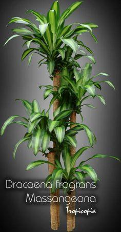 Dracaena - Dracaena fragrans 'Massangeana' - Cornstalk plant
