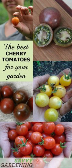 tomato round-up Discover the best cherry tomato varieties for your garden - in every color of the rainbow.Discover the best cherry tomato varieties for your garden - in every color of the rainbow. Tips For Growing Tomatoes, Growing Tomato Plants, Growing Tomatoes In Containers, Growing Grapes, Growing Vegetables, Grow Tomatoes, Growing Cherry Tomatoes, Baby Tomatoes, Tomato Garden