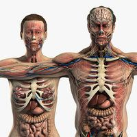 Male Female anatomy body max with high-quality. mal anatomy body, female anatomy body with high-quality. Human Anatomy Model, 3d Anatomy, Gross Anatomy, Anatomy Models, 3d Human, Human Eye, Female Torso, Muscular System, Human Body Parts