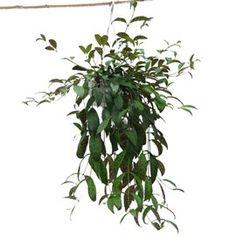 Plante retombante identification d 39 une plante retombantes feuilles vertes et tige id e - Plante grasse retombante ...