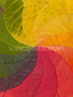 Autumn Leaf Colour Wheel Autumn Leaf Color, Autumn Leaves, Owl Wedding, Plant Cell, Changing Leaves, Leaf Coloring, Deciduous Trees, Photosynthesis, Color Shapes