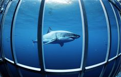 Great White Shark Diving: I would love to do this -- even though I'd probably poop in my wetsuit.
