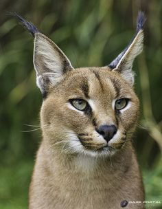 69 Best Caracal Xx Images Big Cats Lynx Tigers
