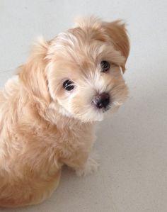 Maltipoo Sumo, Dog of pet parent Claire Super Cute Puppies, Baby Animals Super Cute, Cute Baby Dogs, Cute Little Puppies, Cute Dogs And Puppies, Cute Little Animals, Baby Puppies, Cute Funny Animals, Doggies