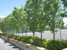 Ornamental Pear With Lilipilly Hedge And Star Jasmine