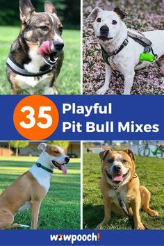 List Of Pit Bull Mix Breed dogs  #1 Akita Pit – (Akita x Pitbull Terrier mix) From: Instagram  Related Reading: 26 Akita Inu Mix Breed Dogs  #2 Alaskan Pitbull – (Alaskan Malamute x Pitbull Terrier mix) From: Instagram  #3 American Boston Bull Terrier – (American Pitbull Terrier x Boston Terrier … 35 Playful Pit Bull Mixes – A Guide to Finding the Pawfect Pitbull Mix Read More » French Bull Terrier, Boston Bull Terrier, Terrier Dogs, Terrier Mix, Pitbull Terrier, American Eskimo Dog, American Pitbull, Patterdale Terrier, Dog Crossbreeds