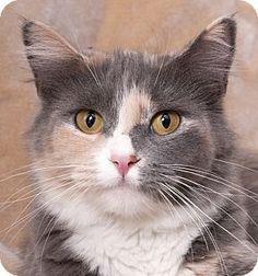 Chicago, IL - Domestic Mediumhair. Meet Sugar, a cat for adoption. http://www.adoptapet.com/pet/17259752-chicago-illinois-cat