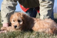 Irish Doodle puppy!! non-shedding, adorable, and totally fun-loving...
