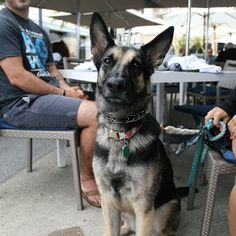 """Ellie, German Shepherd (3 y/o), Sally's Fish House ▪ """"She loves going to @padres games."""""""