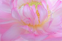 Pink Lotus Macro - DD0A0082-1000
