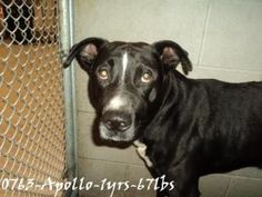 Apollo is an adoptable American Staffordshire Terrier Dog in Beckley, WV. Apollo was turned in by his owners. He is still very scared and trying to figure out why he is here. He seems like he wants to...