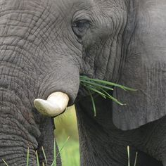 Africa | A Close Up of an ELEPHANT Eating.  Chobe National Park. Botswana