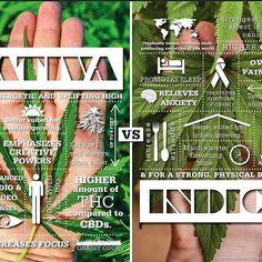 Sativa or Indica? Which one will you be enjoying today??! Let us know below! #knowledge #tipoftheday #cannabis #sativa #indica #terps #cannabiscommunity #canabis #mmj #i502 #pnw #seattle #bainbridgeisland #420community #thc #infographic #repost #knowthedifference #foreverlearning #tips #alwayslearning #picoftheday #energy #relax #dispensary