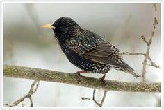 Spreeuw - Starling 19 - 22 cm #metgeluid