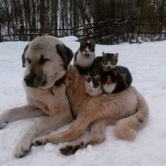 Anatolian shepherd with cats :)