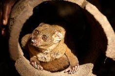 Zanzibar bushbaby | Zanzibar bushbaby Archipelago, Wildlife, Nature, Baby, Animals, Naturaleza, Animales, Animaux, Animal