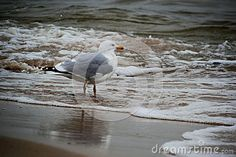 Beautiful Seagull Portrait. Sea in the Background.