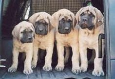 mastiff puppies - Click image to find more Technology Pinterest pins