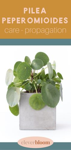 How to care for Pilea peperomioides a.k.a Chinese Money Plant, Missionary Plant, Friendship Plant and UFO plant. All the tips and tricks you need to care for this beautiful plant. Care, Propagation, and tips by Clever Bloom #pileapeperomioides #pilea #houseplants #plantcare Chinese Money Plant, Propagation, Indoor Gardening, Plant Care, Ufo, Houseplants, Clever, Friendship, Bloom