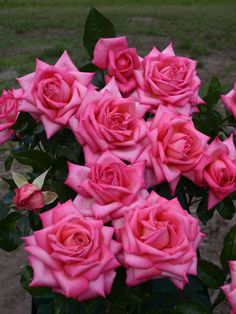 Hybrid Tea Rose 'Wedding Bells'  http://www.baumschule-horstmann.de/edelrose-wedding-bells-77_52546.html?gce=b