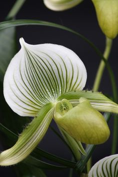 36 Best Lady Slipper Flower Images Beautiful Flowers