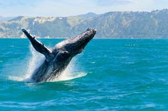 By Bruce Fisher This year, the humpback whales took their time arriving in Hawaiian waters. But, they're here now! In fact, we're fortunate enough to see them from nearby our home, and it's a spect…