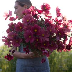 Cosmos 'Rubenza' The large single blooms open with deep ruby petals and then fade into shades of muddy rose and terracotta as they age. Cosmos are easy to grow, produce a profusion of blooms and are perfect for beginners.