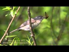 Warbling Vireo singing and eating moth. - YouTube