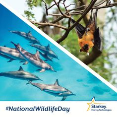 In honor of National Wildlife Day, we thought we'd talk about how two animals use sound. Did you know that bats and dolphins use sound to navigate and find things around them? Both have a biological sonar system called echolocation that involves using sound waves and echoes to determine where objects are.