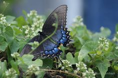 Blue Tiger Swallowtail Butterfly | flat,800x800,070,f.u2.jpg