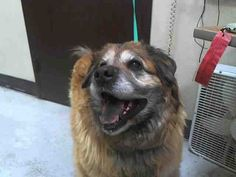 "MZ. GRIZ....CA URGENT!!!! Meet A280432 ""Mz. Griz"" URGENT BIG BEAR SHELTER!!! a Petfinder adoptable Chow Chow Dog 