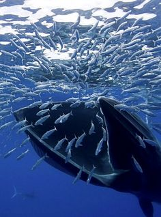 Blue Whale eating...