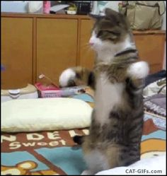 CAT GIF • Funny Cat standing up, dancing with a blue comb: good balance.