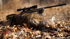 Coyote hunting and quality deer management go hand in hand. That means predator control should also be on your post-season to-do list. Predator Hunting, Big Game Hunting, Hunting Camo, Coyote Hunting, Hunting Tips, Hunting Rifles, Archery Hunting, Hunting Season, Rabbit Hunting