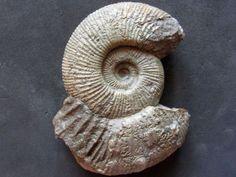 Discosphinctoides sp. (Oppel) uploaded in Upper Jurassic Ammonites from South Germany: 8cm. Lower Kimmeridgian. Danube Valley.