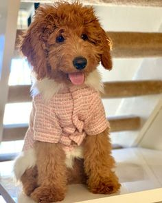 #minilabradoodlepuppy hashtag on Instagram • Photos and Videos Miniature Labradoodle, Mini Labradoodle Puppy, Stand By Me, Fun Facts, Miniatures, Teddy Bear, Photo And Video, Videos, Photos