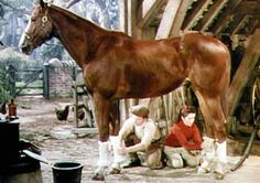 King Charles, Thoroughbred, foaled in 1937. Grandson of Man O' War and played the horse The Pie in National Velvet. Trained as a hunter and owned by a wealthy socialite, he was offered for use in the film. At the end of filming, the horse was gifted to Elizabeth Taylor, who fell in love with the horse prior to and during production and was an accomplished rider, on her birthday and remained with her the rest of his life.