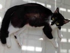 Hi, my name is Lucy! I'm a young mom who did a great job raising my kittens and even helping to raise a couple of orphan kitties as well. I am a spayed female, black and white Domestic Shorthair and I am about 1 year and 1 month old. (ID#A076139) My adoption fee is $45.00.~ For more information about this animal, call: SPCA of Wake County at (919) 772-2326 Ask for information about animal ID number A076139