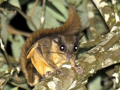 Horsfield's (Javanese) Flying Squirrel or - Iomys horsfieldii  This medium-sized…