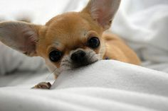"CHIHUAHUA DOGS This is called ""sheet nibbling"". My dog Walter rest his soul used to do it. Teacup Chihuahua, Chihuahua Puppies, Cute Puppies, Cute Dogs, Dogs And Puppies, Doggies, Dog Breeds That Dont Shed, Baby Animals, Cute Animals"