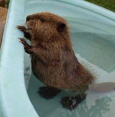 Baby Beaver Bath Time!