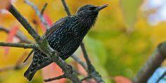 The song of the Starling Starling, Britain, Ireland, Wildlife, Birds, Garden, Animals, Beautiful, Garten