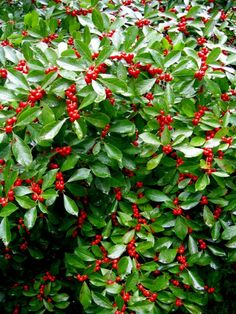 Red Sprite winterberry for wildlife -- needs a male pollinator (Jim Dandy) for berries