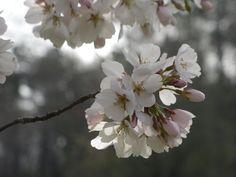 Cherry Blossoms IV:  Spring, 2013