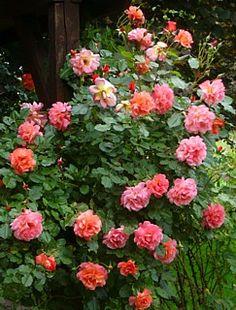 Climbing or Shrub Rose: Rosa 'Westerland' (Germany, Beautiful Roses, Beautiful Gardens, Kordes Rosen, Rose Foto, Shrub Roses, Blooming Rose, Shrubs, Pink Roses, Climbing