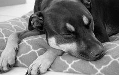 """L1M1AP1:  My girl Chevy. """"Sleepy Sunday"""". Shot with my Nikon D5200. Auto mode. Black and White filter in Lightroom."""