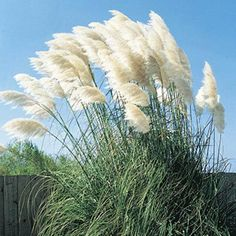 White Pampas Grass----Drought-tolerant  Puffy white plumes are showy and graceful in the landscape and in dried floral arrangements.  Instantly transform the look of your garden by adding easy-care ornamental grasses. They make stunning focal points, graceful borders or perfect complements to your other plantings. Product Information: Light: Full sun to partial shade Height: 5-7' Deer Resistant Bloom Time: Summer to frost Size: Potted Zones: 7 to 10