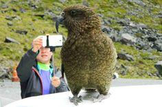 Fotos de viagem à Nova Zelândia: o kea é um pássaro típico da Nova Zelândia. Nós o encontramos em um tour para Milford Sound. Mas há muito mais para se conhecer nesse país da oceania. Montanhas nevadas, praias, geleiras, lagos estão entre as atrações turísticas da Nova Zelândia.
