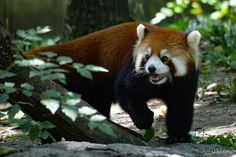 Cincinnati Zoo, Red Pandas, Forests, Bamboo, America, Woodland Forest, Red Panda, Woods, Usa